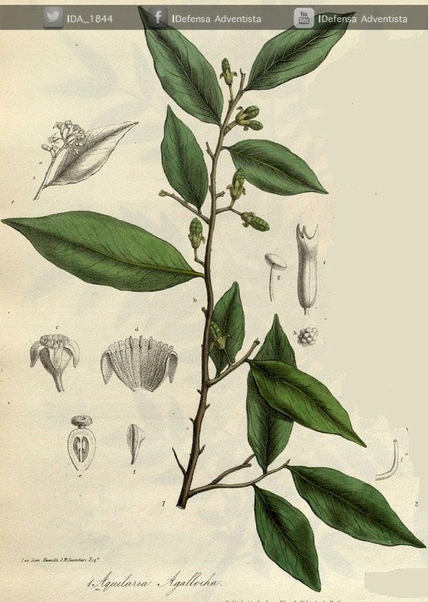 Aloe-madera-de-agar